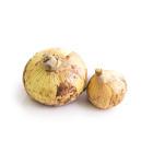 只有初春才能吃到 新洋蔥 2-5個 400g (熊本縣產)